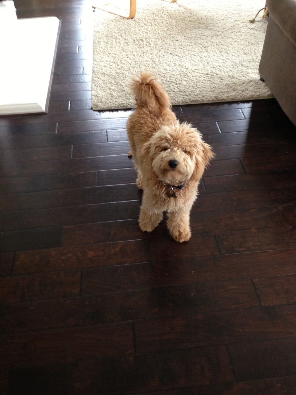 small-apricot labradoodle
