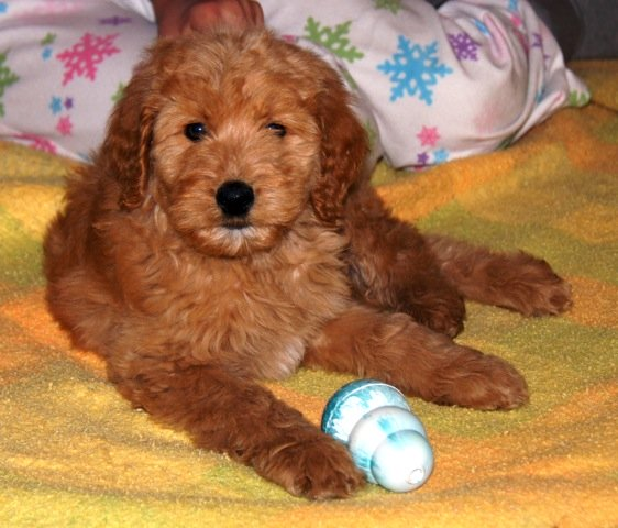 Australian Labradoodle puppy northern ca