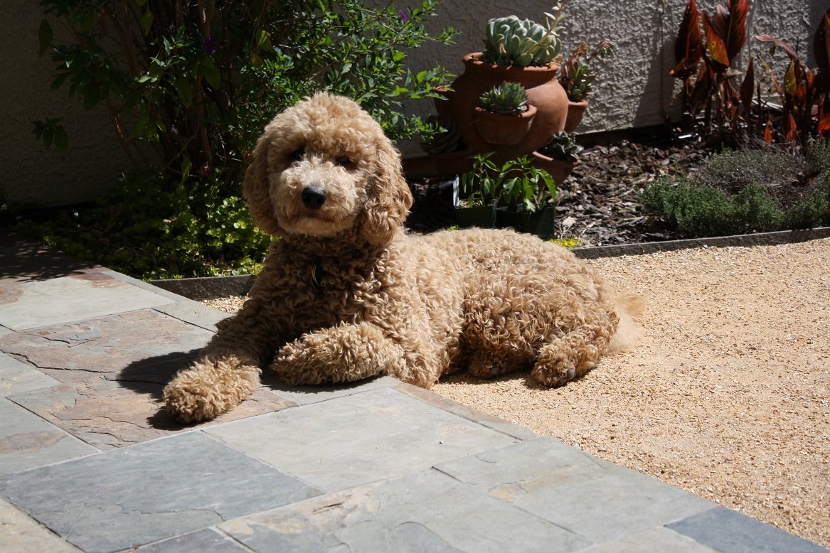 apricot labradoodle northern california