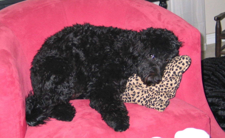 maggie-mae black labradoodle