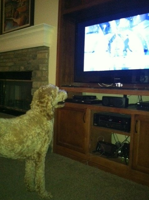 labradoodle watching tv